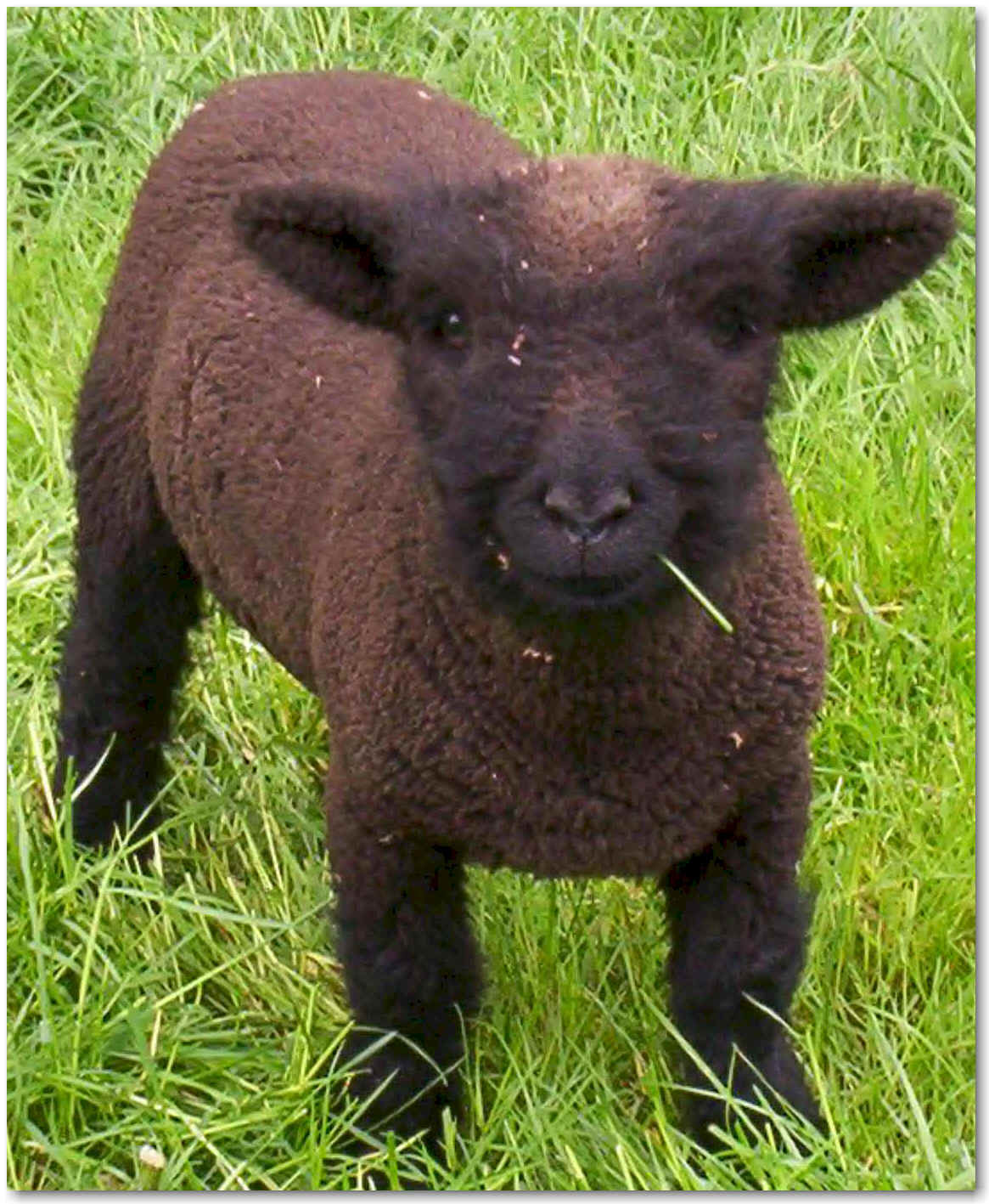 Llama Babies For Sale Baby Doll Sheep For Sale